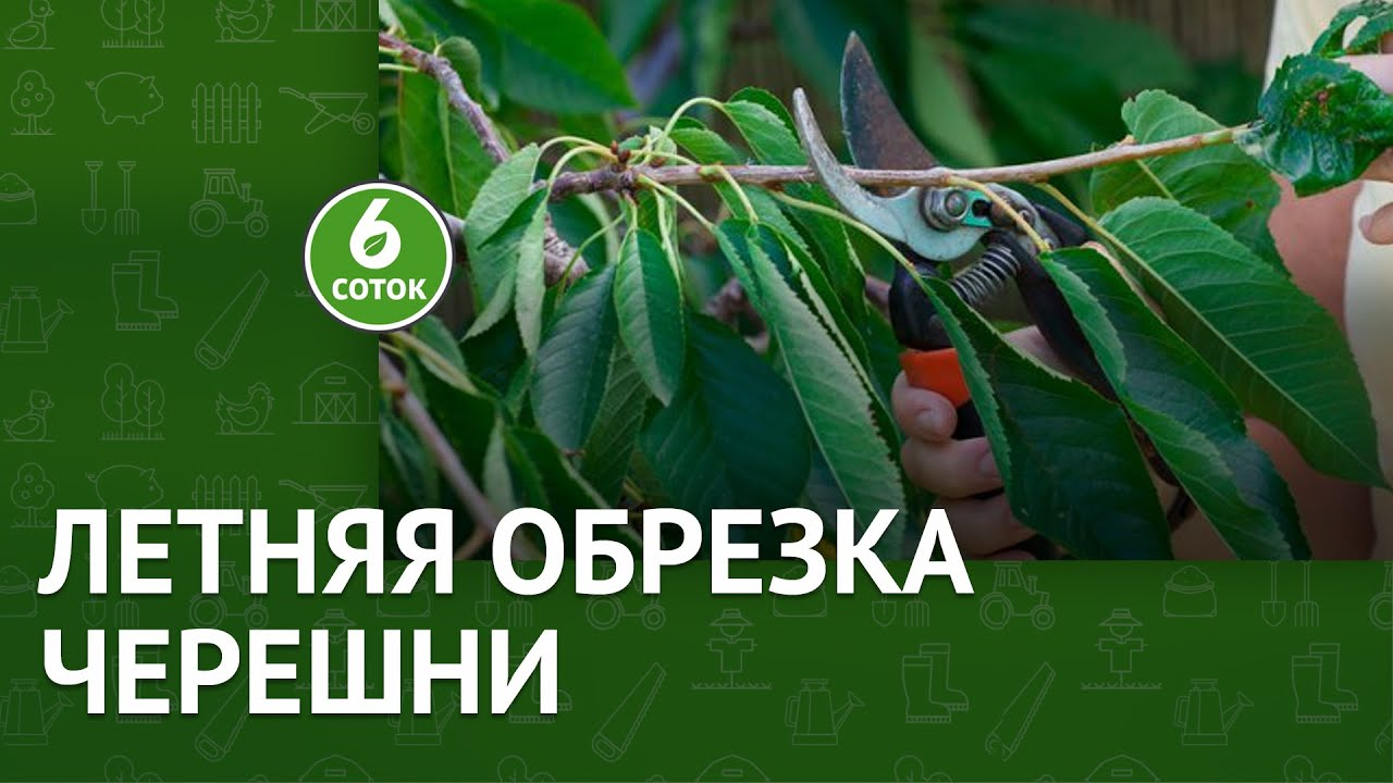 Летняя обрезка черешни. 6 соток 26.07.2021