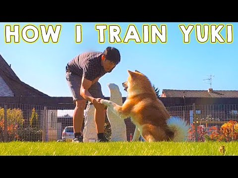 AKITA INU - How I Train My Japanese Akita | Dog Training |