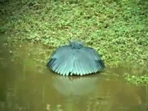 Các loài chim có cách săn mồi kỳ lạ, loai chim san moi