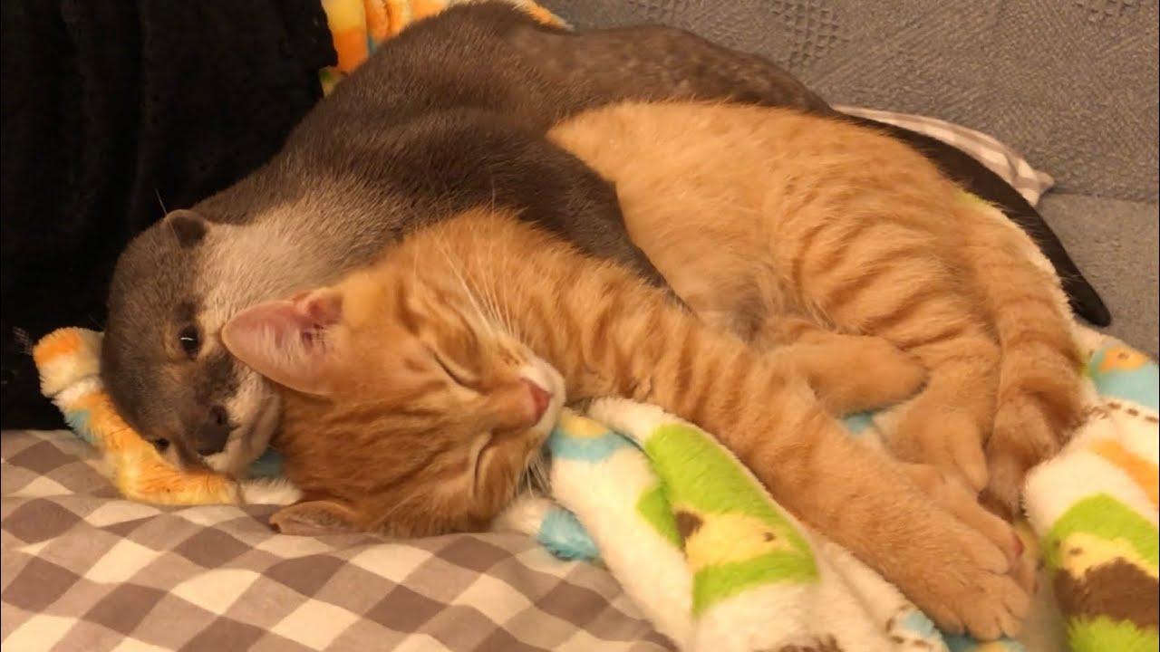 カワウソさくら 子猫を抱かないと寝られない系女子 otter who can not sleep without holding a kitten