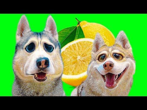 ОТКУСИ ЛИЗНИ или НИЧЕГО ЧЕЛЛЕНДЖ (Хаски Бублик) Говорящая собака