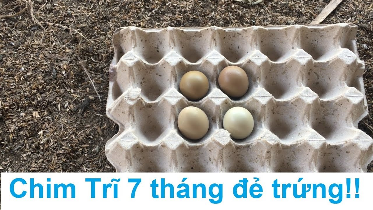 Chim Trĩ 7 tháng tuổi bắt đầu đẻ trứng