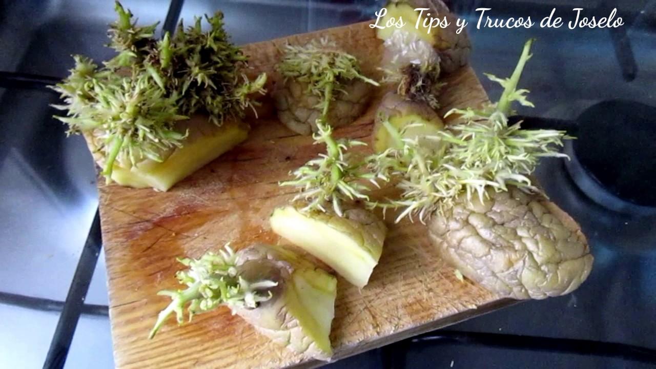 Como cortar y sembrar una semilla de papas o patatas en for Como cultivar patatas