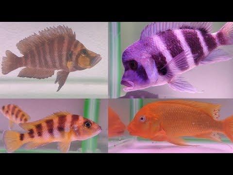 Tanganyika Cichlid Fish At AMart Aquatic World Aquarium Fish Store