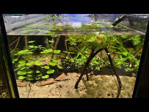 Otocinclus vittatus Breeding Project - Part 1. The Aquarium