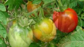 Как покрасить водкой зеленые томаты ?