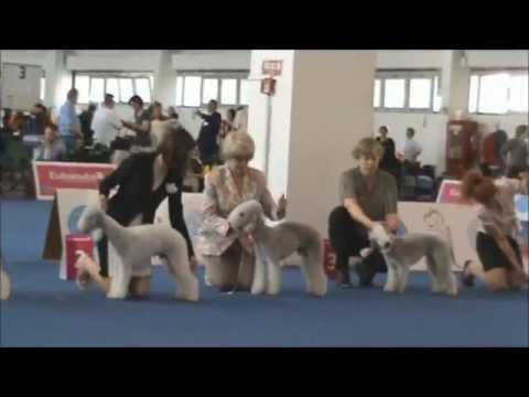 World Dog Show 2013. Bedlington terrier