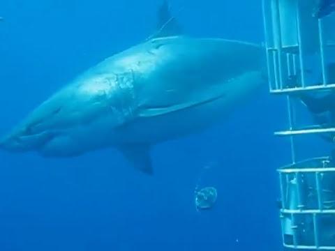 Lo squalo bianco pi grande del mondo avvistato in messico for Disegno squalo bianco