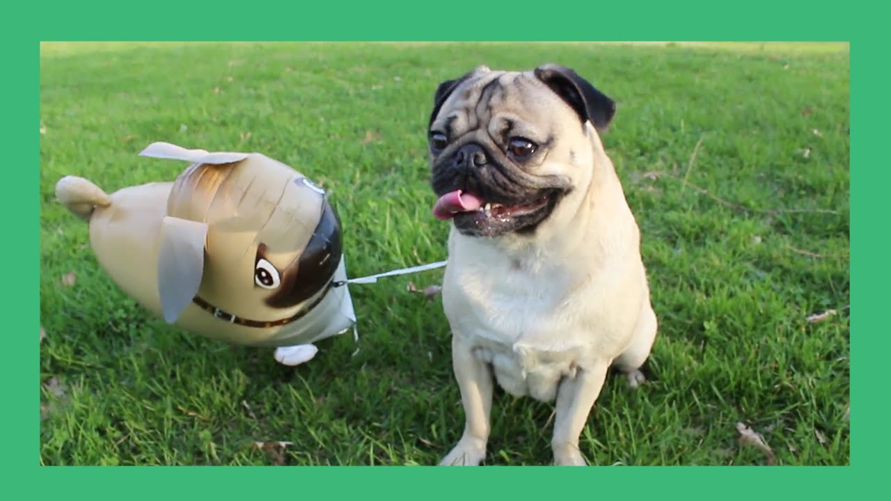 Image result for doug the pug pug balloon