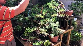 Brief overview on Fertilizing bonsai trees