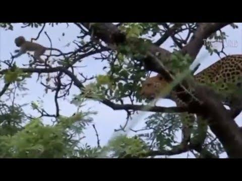 Animal Fight 100 Monkeys vs Lion, Leopard