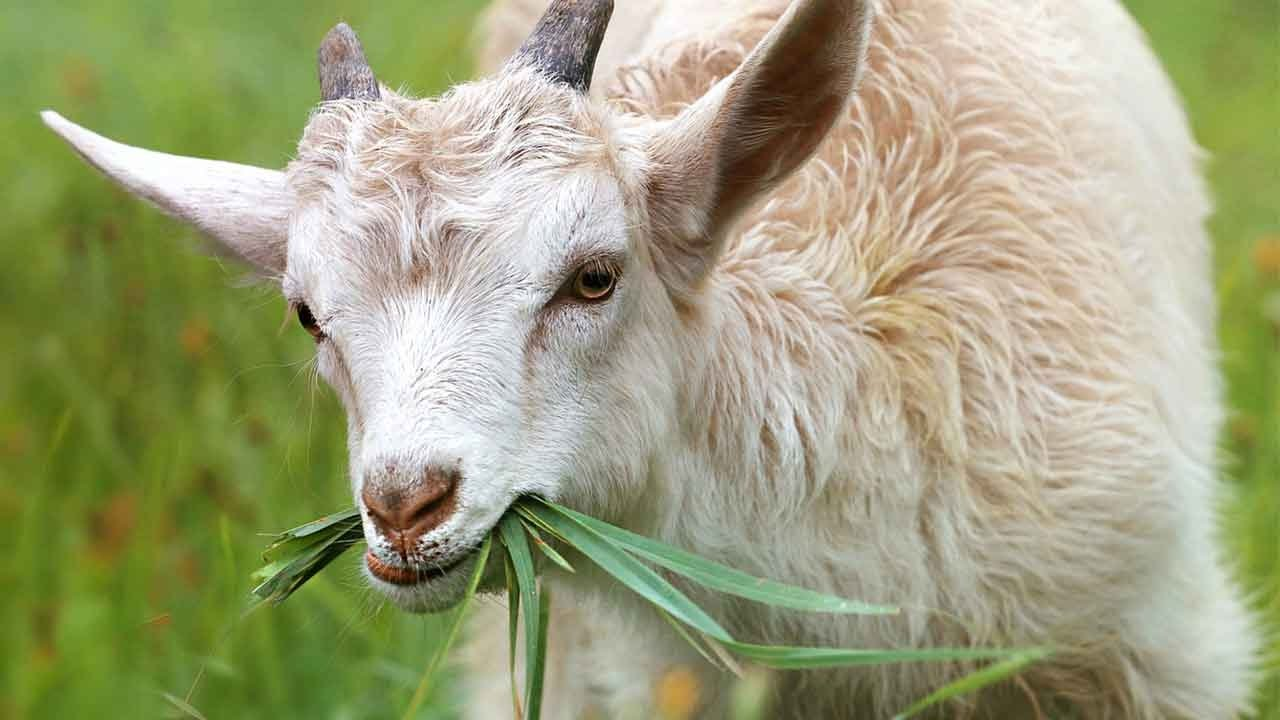 goat - photo #28