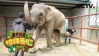 [正大综艺·动物来啦]选择题 给大象修理指甲裂缝,会用到哪种工具?  CCTV