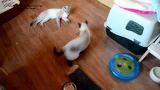 Улётное видео! Тайский котик вызывает старшего кота на борьбу! Тайские кошки - это чудо! Funny Cats