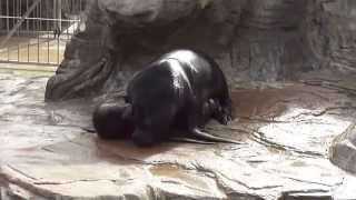 Sea lion sex at L'Oceanogràfic Valencia