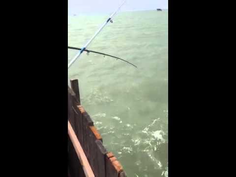 как ловят кутума в каспийском море