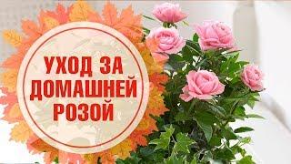 видео Роза комнатная