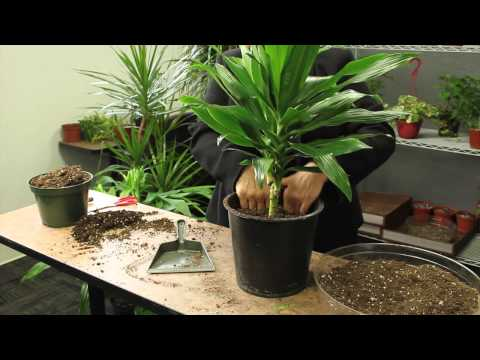 How to Plant Dracaena : Gardening & Plant Care