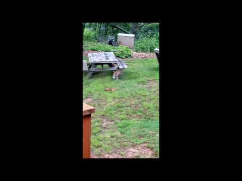 Rare Bobcat Sighting in Asheville, North Carolina