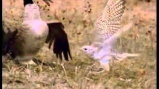 Falcon Kills a full grown Canadian goose!!!