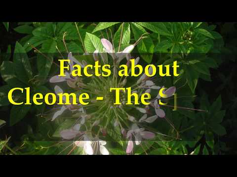 Facts about Cleome   The Spider Flower