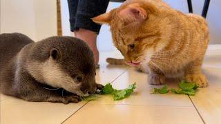 カワウソさくら ついに食べ物を分け合って食べるカワウソ猫? Otter and cat sharing food