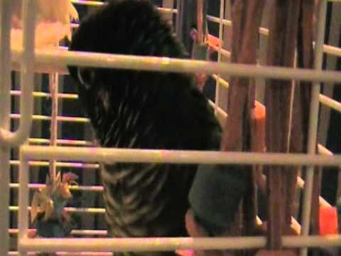 Adorable Talking Conure Parrot Bird Joey