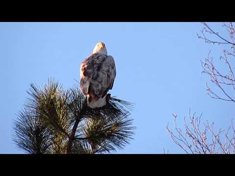 Leucistic Bald Eagle in Klamath