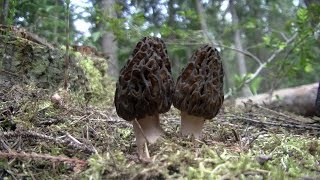 Harvesting and cooking Morel Mushrooms