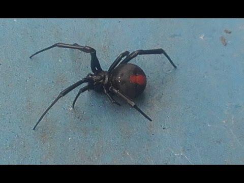 The  Female Redback Spider
