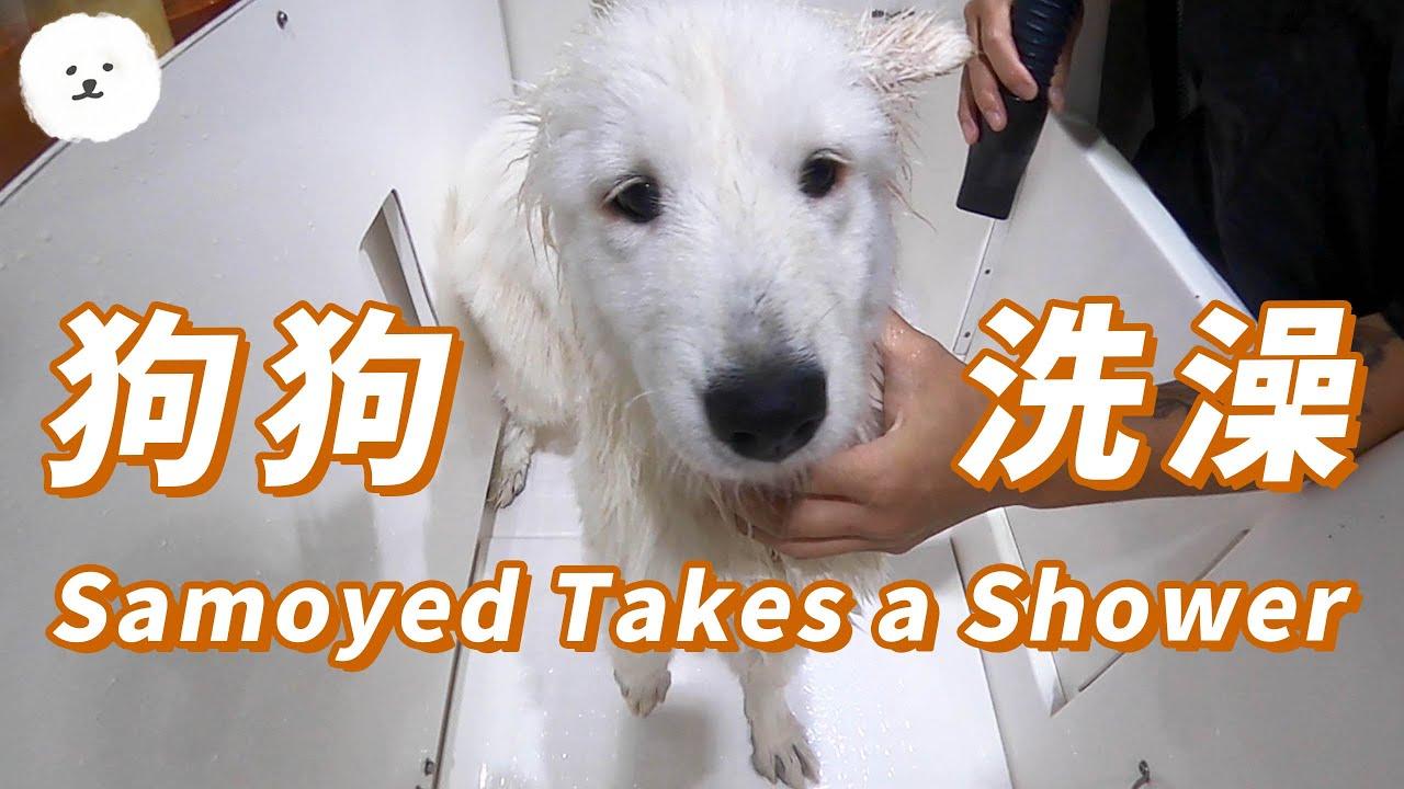 【南瓜PUMPKIN】狗狗洗澡日常~~(薩摩耶Samoyed)