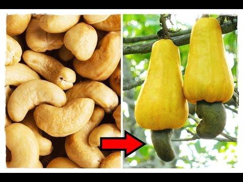 как растут орешки кешью