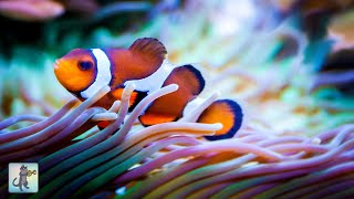 3 HOURS of Beautiful Clownfish & Relaxing Aquarium Music - Sleep, Study, Yoga & Meditation Music