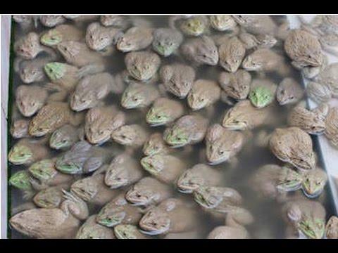 Frog Farming  in Cambodia ,  ការចិញ្ចឹមកង្កែប, បច្ចេកទេសចិញ្ចឹមកង្កែប នៅខេត្តបន្ទាយមានជ័យ