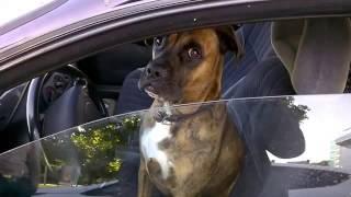 Собака сидит за рулем а гаишники просят документы