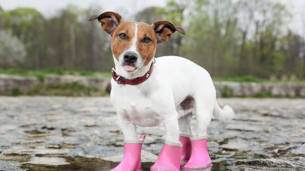 Dogs Wearing Boots for First Time Compilation - YouTube
