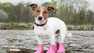 Dogs Wearing Boots for First Time Compilation 2013 [HD]