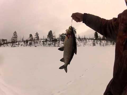 видео. ловля сига на блесну