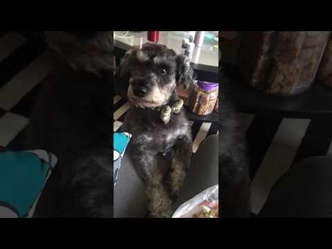 Cute Dog Asking for Food Schnauzer Puppy  Anjing Lucu