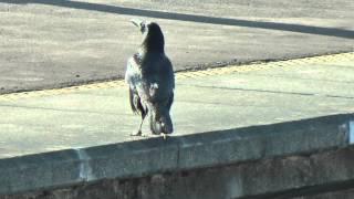 駅で鳴くハシボソガラス Carrion Crow (HD)