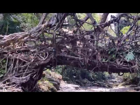 root bridges of cherrapunji