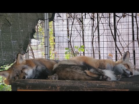 Update on foxes Pan and Sophie