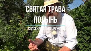 Святая трава чернобыльник глистогон   полынь обыкновенная