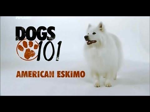 Порода собак Американский эскимосский шпиц