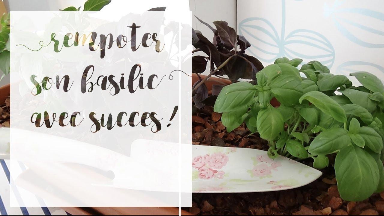 Comment Bien Faire Pousser Du Basilic comment rempoter un basilic | serie aromatiques en pot