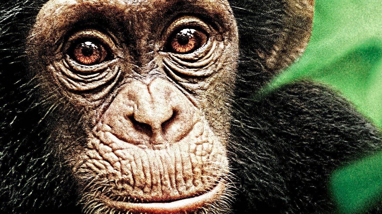 Bildergebnis für Schimpansen