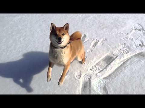 Shiba Inu on ice!