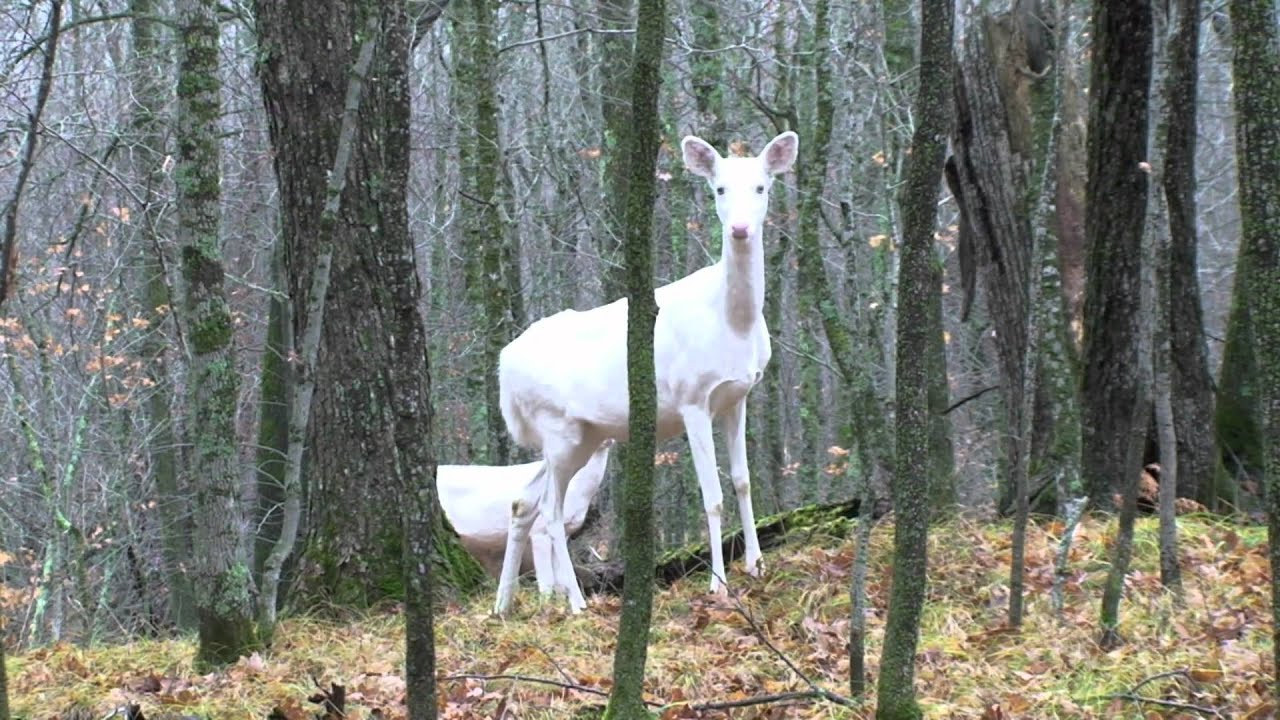 Chance encounter with albino whitetail deer youtube voltagebd Image collections