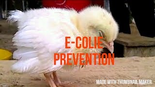 Poultry E-coli disease in english