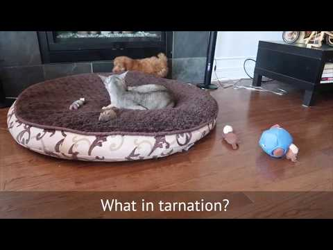Abyssinian Cats Meet New Puppy | CUTE CAT CLEO